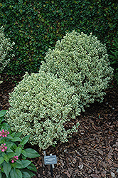 Variegated Boxwood (Buxus sempervirens 'Variegata') at TLC Garden Centers
