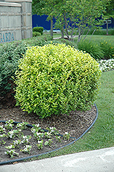 Golden Privet (Ligustrum x vicaryi) at TLC Garden Centers