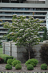 Flowering Dogwood (Cornus florida) at TLC Garden Centers