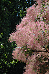 Grace Smokebush (Cotinus 'Grace') at TLC Garden Centers