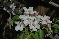 Jonathan Apple (Malus 'Jonathan') at TLC Garden Centers