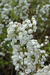 Bridalwreath Spirea (Spiraea prunifolia) at TLC Garden Centers