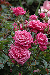 Winsome Rose (Rosa 'Winsome') at TLC Garden Centers