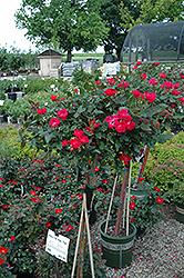 Knock Out® Rose Tree (Rosa 'Radrazz') at TLC Garden Centers