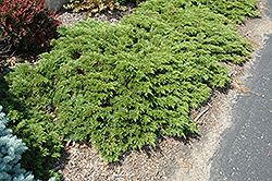 Mini Arcade Juniper (Juniperus sabina 'Mini-Arcade') at TLC Garden Centers