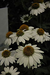 PowWow White Coneflower (Echinacea purpurea 'PowWow White') at TLC Garden Centers