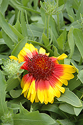 Mesa Bright Bicolor Blanket Flower (Gaillardia x grandiflora 'Mesa Bright Bicolor') at TLC Garden Centers