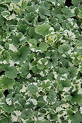 Variegated Ground Ivy (Glechoma hederacea 'Variegata') at TLC Garden Centers
