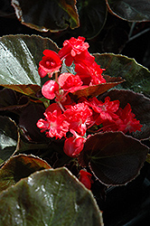 Doublet Red Begonia (Begonia 'Doublet Red') at TLC Garden Centers