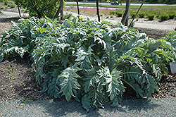 Cardoon (Cynara cardunculus) at TLC Garden Centers
