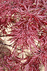 Red Dragon Japanese Maple (Acer palmatum 'Red Dragon') at TLC Garden Centers