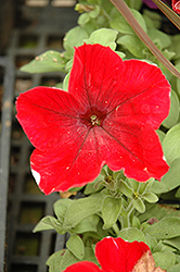 Madness Red Petunia (Petunia 'Madness Red') at TLC Garden Centers