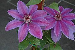Vancouver™ Starry Nights Clematis (Clematis 'Vancouver Starry Nights') at TLC Garden Centers