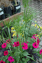 King Tut Egyptian Papyrus (Cyperus papyrus 'King Tut') at TLC Garden Centers