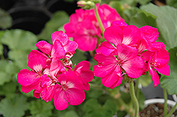 Rocky Mountain Deep Rose Geranium (Pelargonium 'Rocky Mountain Deep Rose') at TLC Garden Centers