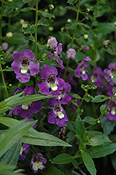 Archangel™ Purple Angelonia (Angelonia angustifolia 'Archangel Purple') at TLC Garden Centers