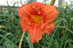 South Seas Daylily (Hemerocallis 'South Seas') at TLC Garden Centers