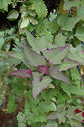 Tricolor Sweet Potato Vine (Ipomoea batatas 'Tricolor') at TLC Garden Centers