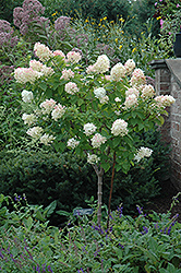 Limelight Hydrangea (tree form) (Hydrangea paniculata 'Limelight (tree form)') at TLC Garden Centers