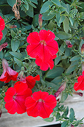 Surfinia® Red Petunia (Petunia 'Surfinia Red') at TLC Garden Centers