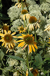 Big Sky Harvest Moon Coneflower (Echinacea 'Big Sky Harvest Moon') at TLC Garden Centers