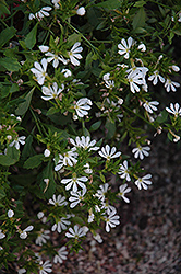 Bombay White Fan Flower (Scaevola aemula 'Bombay White') at TLC Garden Centers