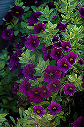 Aloha Midnight Purple Calibrachoa (Calibrachoa 'Aloha Midnight Purple') at TLC Garden Centers