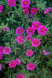 Aloha Hot Pink Calibrachoa (Calibrachoa 'Aloha Hot Pink') at TLC Garden Centers