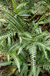 Holly Fern (Arachniodes simplicior) at TLC Garden Centers