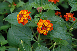 Dallas Red Lantana (Lantana camara 'Dallas Red') at TLC Garden Centers