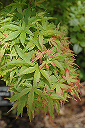 Sharp's Pygmy Japanese Maple (Acer palmatum 'Sharp's Pygmy') at TLC Garden Centers