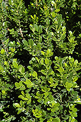 Baby Gem™ Boxwood (Buxus microphylla 'Gregem') at TLC Garden Centers