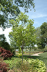 Choctaw Pecan (Carya illinoinensis 'Choctaw') at TLC Garden Centers