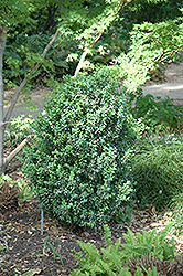 Julia Jane Boxwood (Buxus microphylla 'Julia Jane') at TLC Garden Centers