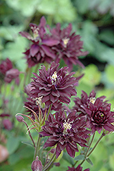 Clementine Dark Purple Columbine (Aquilegia vulgaris 'Clementine Dark Purple') at TLC Garden Centers