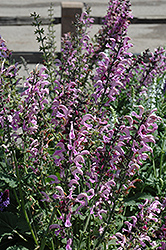 Sweet Sixteen Meadow Sage (Salvia nemorosa 'Sweet Sixteen') at TLC Garden Centers
