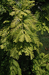Gold Rush Dawn Redwood (Metasequoia glyptostroboides 'Gold Rush') at TLC Garden Centers
