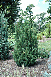 Blue Point Juniper (Juniperus chinensis 'Blue Point') at TLC Garden Centers