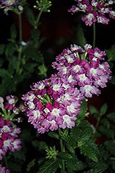Empress™ Wicked Purple Verbena (Verbena 'Empress Wicked Purple') at TLC Garden Centers