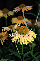 Big Kahuna Coneflower (Echinacea 'Big Kahuna') at TLC Garden Centers