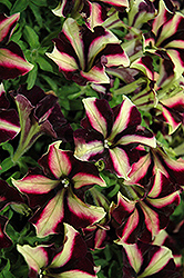 Crazytunia® Pulse Petunia (Petunia 'Crazytunia Pulse') at TLC Garden Centers