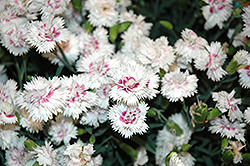 EverLast™ White plus Eye Pinks (Dianthus 'EverLast White plus Eye') at TLC Garden Centers