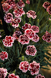 EverLast™ Lilac plus Eye Pinks (Dianthus 'EverLast Lilac Plus Eye') at TLC Garden Centers