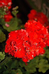 Rocky Mountain Orange Geranium (Pelargonium 'Rocky Mountain Orange') at TLC Garden Centers