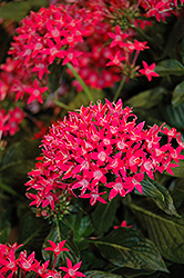 Starcluster™ Rose Star Flower (Pentas lanceolata 'Starcluster Rose') at TLC Garden Centers