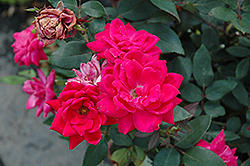 Red Double Knock Out Rose (Rosa 'Red Double Knock Out') at TLC Garden Centers