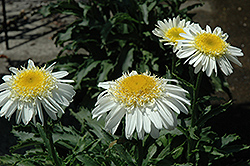 Real Glory Shasta Daisy (Leucanthemum x superbum 'Real Glory') at TLC Garden Centers
