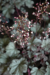 Stainless Steel Coral Bells (Heuchera 'Stainless Steel') at TLC Garden Centers