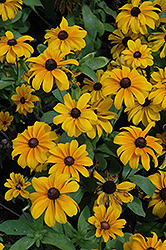 Tiger Eye Gold Coneflower (Rudbeckia hirta 'Tiger Eye Gold') at TLC Garden Centers