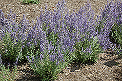 Lacey Blue Russian Sage (Perovskia atriplicifolia 'Lacey Blue') at TLC Garden Centers